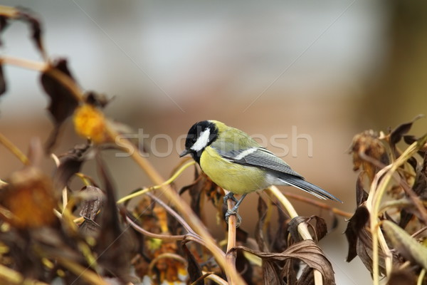 Stock photo: great tit in the garden
