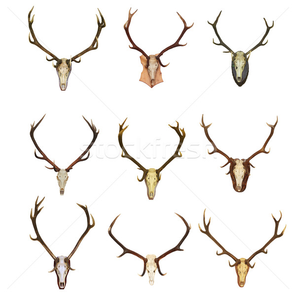 collection of red deer trophies Stock photo © taviphoto