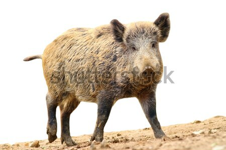 wild boar over white Stock photo © taviphoto