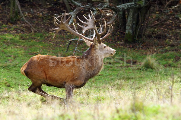 big red deer stag in a clearing Stock photo © taviphoto