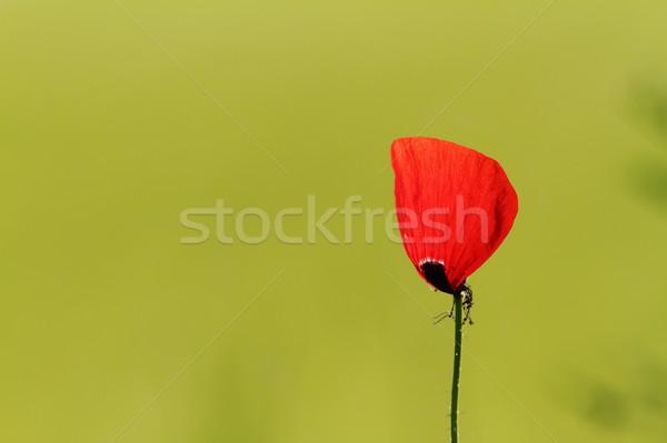 Hermosa amapola flor rojo verde Foto stock © taviphoto