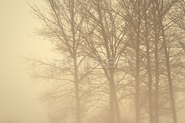 spooky forest in the mist Stock photo © taviphoto