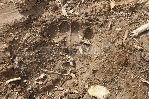 ヒグマ フットプリント 泥 ヨーロッパの 自然 ストックフォト © taviphoto