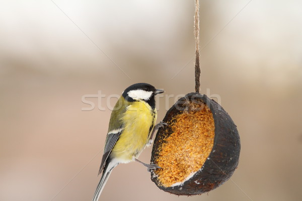 great tit on lard feeder in the garden Stock photo © taviphoto