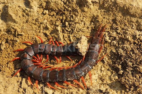 megarian banded centipede on ground Stock photo © taviphoto