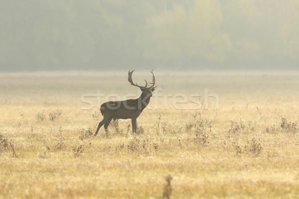 Herten reebok lopen gazon ochtend mooie Stockfoto © taviphoto