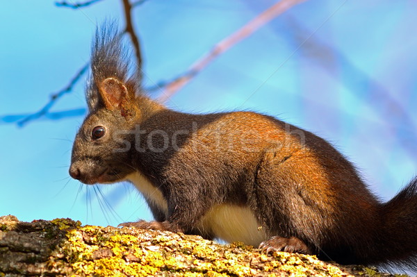 Stock photo: wild european red squirrel up in the tree