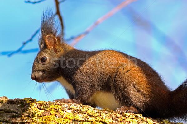 Vad európai piros mókus felfelé fa Stock fotó © taviphoto
