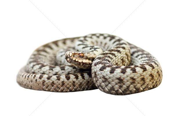 Aislado europeo venenoso serpiente reptil Foto stock © taviphoto