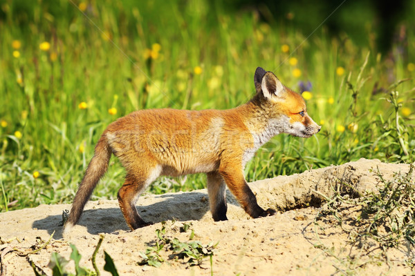 Aranyos fiatal piros róka természetes környezet Stock fotó © taviphoto