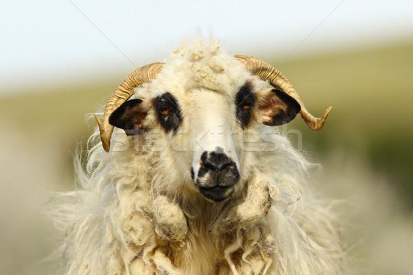 portrait of fluffy ram Stock photo © taviphoto