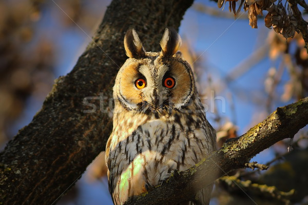 portrait of long eared owl Stock photo © taviphoto