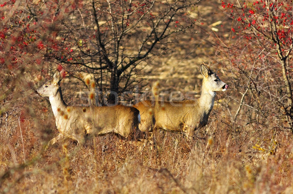 roe deer couple in late autumn Stock photo © taviphoto