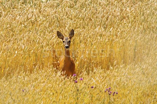 Ikra szarvas gyönyörű búzamező áll nyár Stock fotó © taviphoto