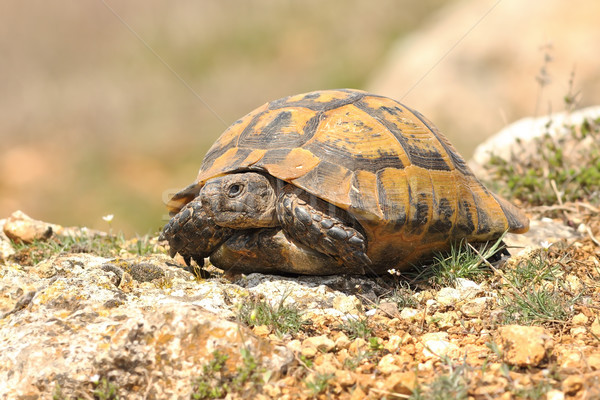 Testudo graeca on rocky ground Stock photo © taviphoto