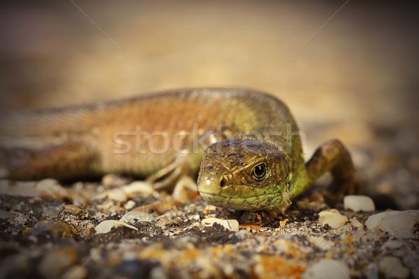closeup of juvenile green lizard Stock photo © taviphoto