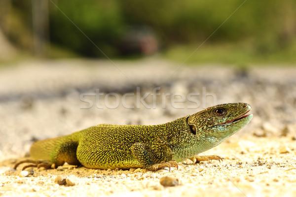 full length Lacerta viridis male Stock photo © taviphoto