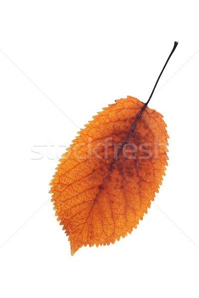 colorful cherry leaf autumn symbol Stock photo © taviphoto