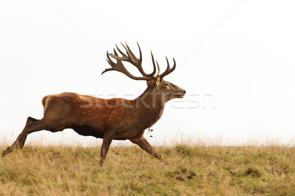 Stock photo: male cervus elaphus on the run