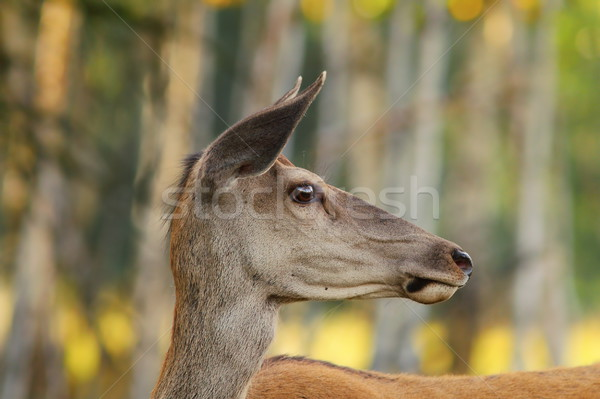 Stock photo: wild red deer doe portrait