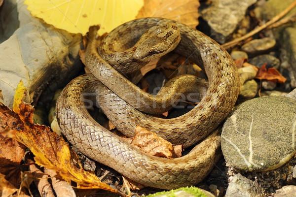 smooth snake on autumn forest ground Stock photo © taviphoto