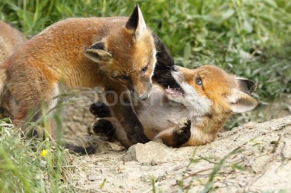 playful red fox cubs Stock photo © taviphoto