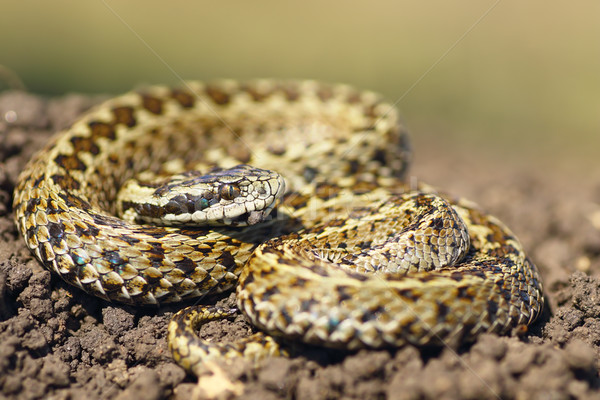 beautiful meadow viper ready to attack Stock photo © taviphoto