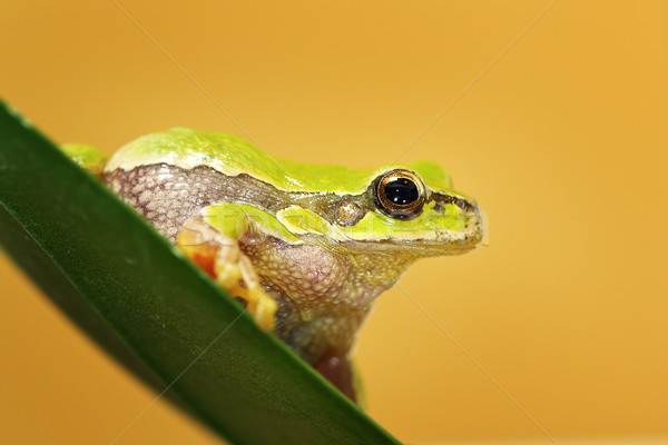 close up of cute Hyla arborea Stock photo © taviphoto