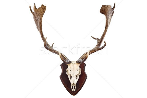 isolated hunting trophy of a fallow deer buck Stock photo © taviphoto