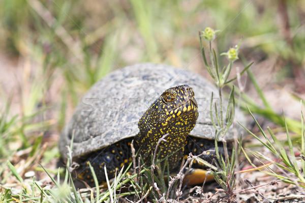 Europejski staw żółwia naturalnych Zdjęcia stock © taviphoto