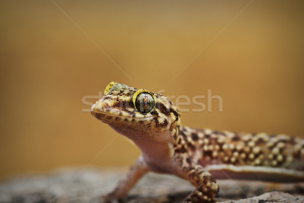 portrait of curious mediterranean house gecko Stock photo © taviphoto
