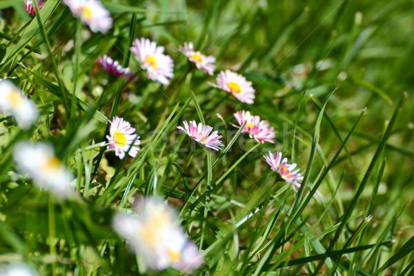 Rosa margarida belo margaridas parque primavera Foto stock © taviphoto