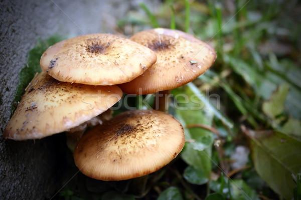 honey fungus Stock photo © taviphoto