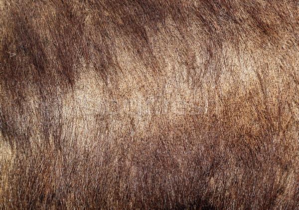 sus scrofa textured fur Stock photo © taviphoto