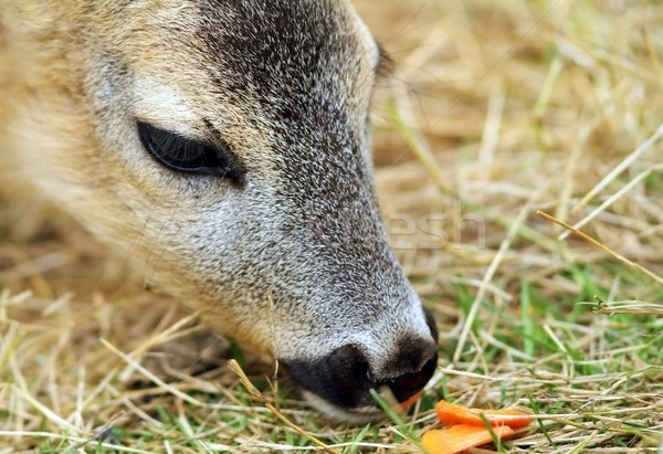 roe deer being fed with carrots Stock photo © taviphoto