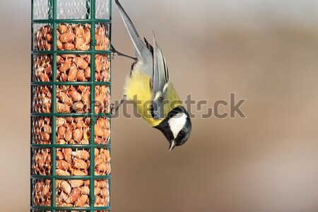 great tit on a lard feeder Stock photo © taviphoto