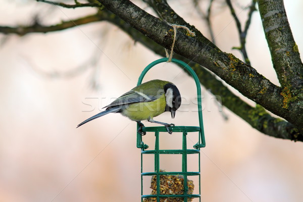 tit looking at fat feeder Stock photo © taviphoto
