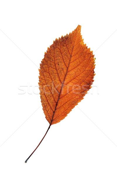 cherry reddish leaf isolated on white Stock photo © taviphoto