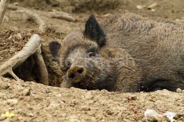 wild boar at the zoo Stock photo © taviphoto