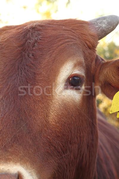 closeup of zebu eye Stock photo © taviphoto