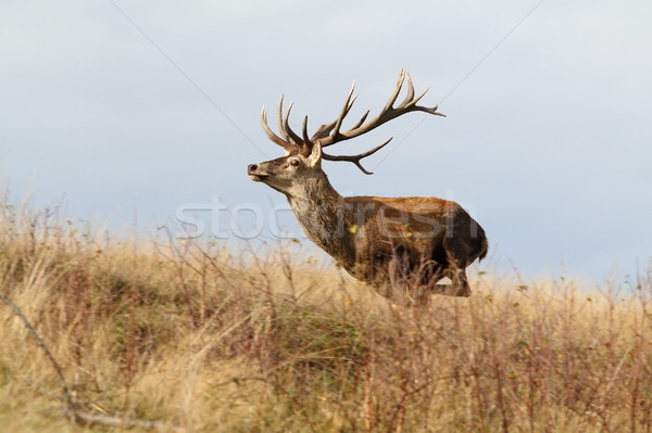 majestic red deer stag on the run Stock photo © taviphoto