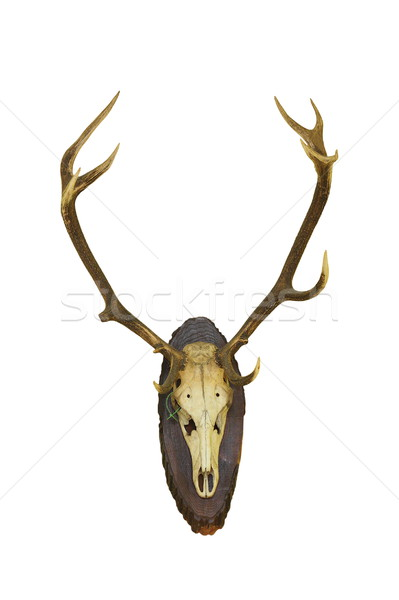 beautiful red deer buck trophy on white Stock photo © taviphoto