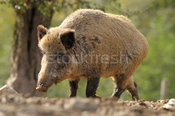big wild boar sow Stock photo © taviphoto