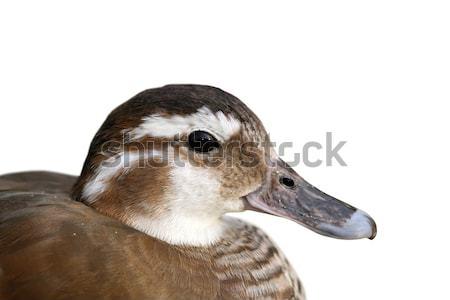isolated portrait of female mandarin duck Stock photo © taviphoto