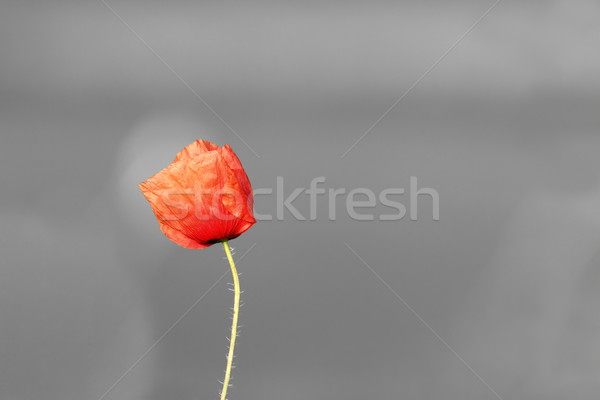 abstract vivid poppy flower over black and white background Stock photo © taviphoto