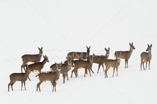 Stock photo: roe deers on white snow
