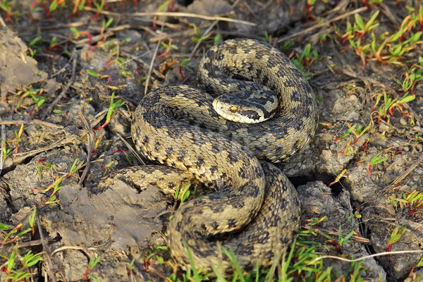 hungarian meadow adder in natural habitat Stock photo © taviphoto