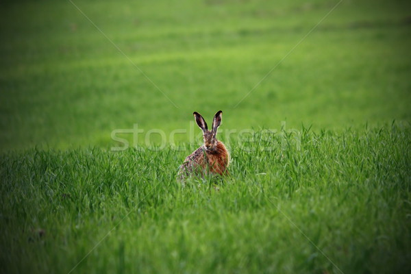 wild hare in green field Stock photo © taviphoto