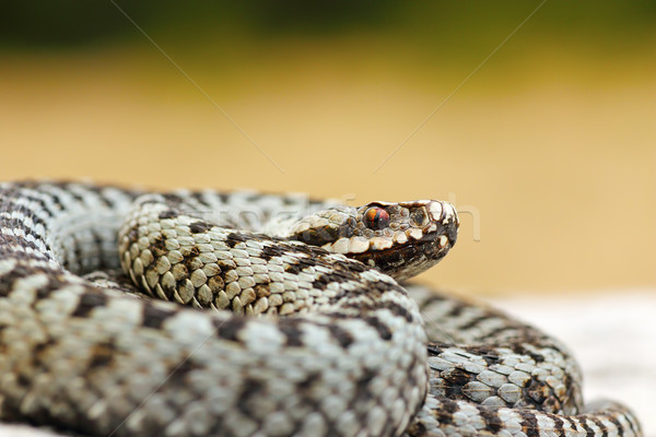 Stock photo: close up of male common crossed viper