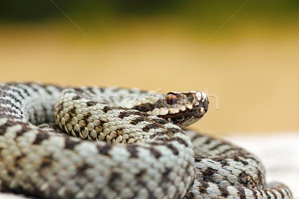 Közelkép férfi veszélyes európai kígyó természet Stock fotó © taviphoto